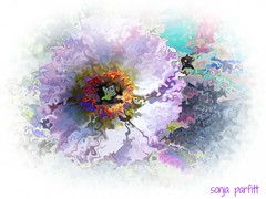 soft  beauty (Sonja Parfitt) Tags: color soft poppy photomanipulated