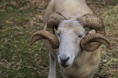 Ram 2015-03-15 (IMG_7585) (ajhaysom) Tags: australia tasmania brunyisland adventurebay canon24105l canoneos6d