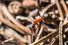 BWI3_157_12. April 2015 (wilfriedpförtsch) Tags: umwelt formicarufa rotewaldameise hautfluegler insektspinne ultratagproc20062013coolcolours ultratagpro401de reichdertiere
