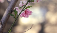 Till human voices wake us, and we drown (Therese Trinko) Tags: pink usa flower nature easter dallas spring woods poetry texas bokeh ud universityofdallas