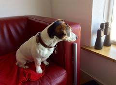 Sophie. (Fijgje On/Off) Tags: dog chien sophie hond hund jackrussell terriër coth fijgje coth5 appleipadair apr2015