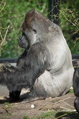 2015-04-12-10h29m43.BL7R0574 (A.J. Haverkamp) Tags: amsterdam zoo gorilla thenetherlands artis dierentuin akili httpwwwartisnl dob16101994 canonef100400mmf4556lisusmlens pobfrankfurtgermany