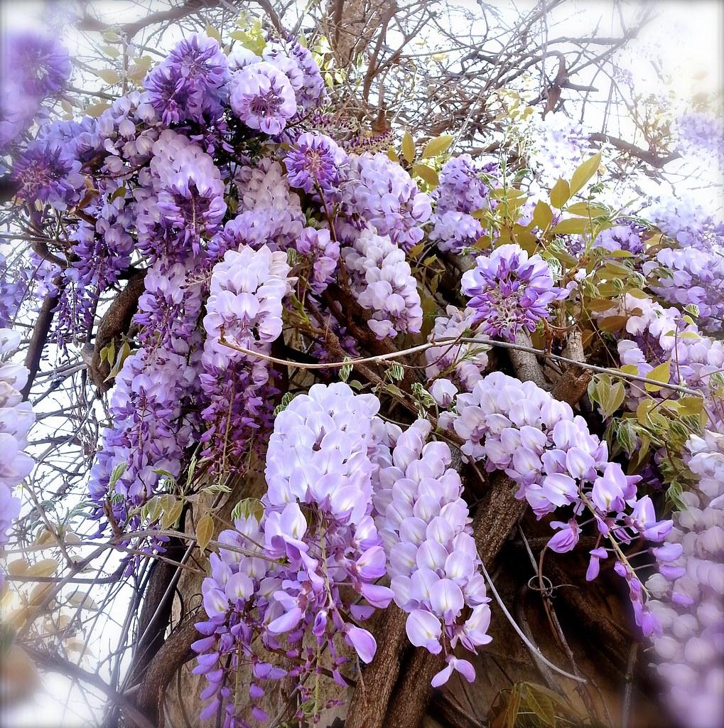 Planta glicina particles bolsa bonsai planta azul glicina for Glicina planta