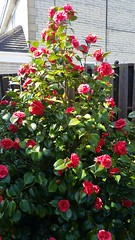 Camellia (Mick PK) Tags: cameraphone uk england plant flower garden derbyshire samsung galaxy camellia shrub s5 tibshelf eastmaidlands samsunggalaxys5