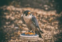 | peregrine falcon (Heppy_Rodger) Tags: bird eye animal animals happy eagle russia outdoor sony jolly roger alpha dslr a100 vova vladimir rodger voronezh     heppy  vrn  vovka   pedan            voroneg voronehz      heppyrodger pedanvova   100 c vovkapedan