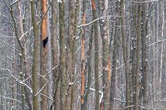 The Kingdom of woodpecker (lookashG) Tags: las trees winter snow tree bird nature birds animal animals fauna forest landscape wildlife natura aves wintertime scape zima deadwood animalia nieg ptak deadtrees ptaki drzewo drewno drzewa zwierzta krajobraz blackwoodpecker dryocopusmartius dzicioczarny portretrodowiskowy treecrowns 50150mmf28 lookashggmailcom portraitofenvironmental ukaszgwidziel martwedrewno sonyilca77m2