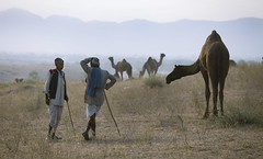 4405 A friendly evening chit-chat--Pushkar , Rajasthan , India (ngchongkin) Tags: pushkar india camel earthasia wonderfulasia thegalaxy heartawards gününeniyisi