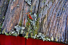 Moss and Fungi on the Roof Boards (Cyber Drifter) Tags: life new plant color colour macro rot moss nikon fungi growth spores linchen