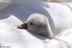 Keep Your Family Close (flipkeat) Tags: baby white bird nature closeup swan wings different wildlife awesome cygnet adorable mississauga birdwatching mute cygnus olor
