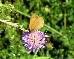 Butterfly on the meadow flower (Jacek Magryta) Tags: county flower butterfly landscape meadow poland polska jacek lower zgorzelec silesian lowersilesia piensk platinumheartaward borydolnoslaskie piesk