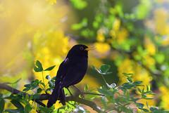 Merlo (Turdus merula) (elio de stefani.) Tags: natura uccelli turdusmerula giardino merlo maggiociondolo eliodestefani