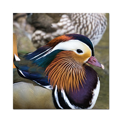 Mandarin duck (hehaden (away for a week)) Tags: male square sussex duck mandarinduck aixgalericulata bentleywildfowl sel70200g
