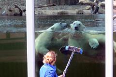 Eisbren Akiak und Sura im Ouwehands Dierenpark Rhenen (Ulli J.) Tags: netherlands zoo utrecht nederland polarbear paysbas ijsbeer rhenen niederlande eisbr ouwehandsdierenpark isbjrn ourspolaire nederlandene