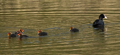 Family Outing (alanj49) Tags: water chicks coot