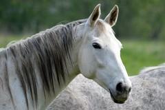 (MyWorldsView) Tags: horse nature animal spring nikon wildlife pferd tier frhling schimmel