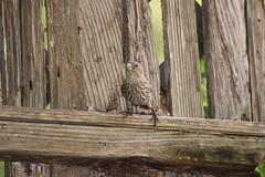 IMG_4754 (californiajbroad) Tags: bird finch housefinch