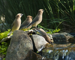 Wax wing sentinels (back stage) Tags: bird water yard garden waterfall pond outdoor mo springfield waxwing cedarwaxwing sonyalpha700 sony70300mmf4556