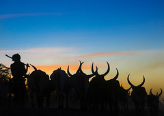 Silhouette of an afar tribe man with his cows at sunset, Afar region, Afambo, Ethiopia (Eric Lafforgue) Tags: africa travel blue sunset cloud color animal silhouette horizontal walking mammal outdoors photography cow cattle adult dusk group horns tribal longhorns drought nomad copyspace agriculture ethiopia tribe livestock herd onthemove oneperson herbivore horned hornofafrica nomadic eastafrica herder abyssinia tribesman greatriftvalley ruralscene herbivorous fulllenght onemanonly animalthemes 1people afarregion unrecognizableperson afambo ethio162792