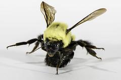 One Armed Push-Ups (Brand!n) Tags: macro closeup insect nikon insects bee explore micro 28 macros nikkor closeups 105mm explored explorephotos d810