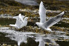 disagreement (AH Robberstad) Tags: laruscanus hettemke fiskemke langy chroicocephalusridibundus theblackheadedgull thecommongull
