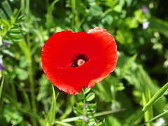 Poppy (rgrant_97) Tags: portugal nature natureza abril alentejo fronteira alterdocho