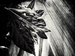 Leaves (J.C. Moyer) Tags: wood blackandwhite plant leaves floor woodenfloor