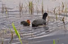 Follow me (schreibtnix) Tags: reed nature water birds animals closeup tiere canal wasser chicks kanal vgel coot nahaufnahme schilf kken blshuhn olympuse5 fulciaatra schreibtnix