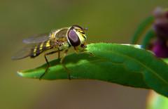 Yum Yum Yum Num Num Nummmmm ... (DarkOnus) Tags: macro closeup insect lumix fly day pennsylvania panasonic friday 2d buckscounty hoverfly fdf hfdf flydayfriday dmcfz35 darkonus