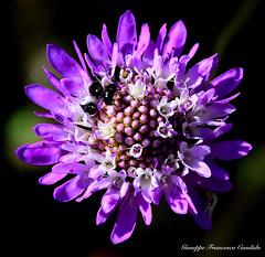 flower (candidogiuseppef) Tags: summer flower nature beautiful natura di campo maco fiore calma nero lilla pianta sfondo motivo allaperto fioritura profondit