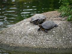 Basking (dynode.nl) Tags: ouwehandsdierenpark rhenen zoo animals wild basking redearedslider turtle tortoise water aquatic pond