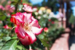 """By Any Other Name"" (j.a.haslett) Tags: flower rose oregon canon garden portland eos blossom bokeh pdx pnw washingtonpark 70d internationalrosetestgarden"