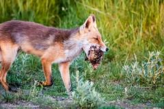 Fox with prey (Kenjirio) Tags: summer animals wildlife zomer zandvoort amsterdamse 2016 waterleidingduinen waternet