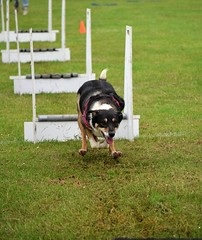 Banbury Cross FLyball - Penny