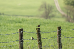 HFF (jillyspoon) Tags: bird birds canon landscape happy barbedwire barbed bluetit hff 70d fencefriday canon70d