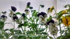 Violas mixed (Purple & white) on bedroom windowsill 14-06-2016 003 (D@viD_2.011) Tags: june bedroom windowsill 2016 violas