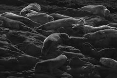 Afternoon Nap (Charlotte Hamilton Gibb) Tags: california wild animals mammal coast seaside nap rocky pacificocean seal wildanimal coastline sunbathing pescadero harborseals coastallife