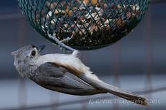 Titmouse 1 (kevnkc2) Tags: county bird franklin spring nikon pennsylvania contemporary sigma tuftedtitmouse lightroom chambersburg d610 stdntsdoncooper 150600mm 150600f563