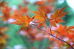 Maple leaves (JPShen) Tags: light leaves maple bokeh shade brilliant