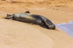 monkseal20un17-16 (divindk) Tags: hawaii hawaiianislands kauai neomonachusschauinslandi beach cute endangeredspecies hawaiianmonkseal lazy marine marinemammal monkseal seal sunshine whiskers