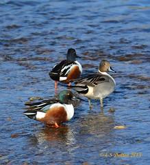 March 7, 2015 - Ducks on the South Platte River in Thornton. (Ed Dalton)