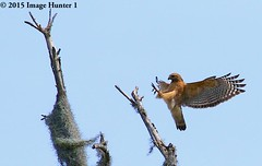 Red-shouldered Hawk Landing - Bayou Courtableau, Louisiana (Image Hunter 1) Tags: blue sky tree bird nature flying wings louisiana branch hawk flight feathers bayou raptor swamp spanishmoss wingspan redshoulderedhawk talons wingspread canoneos7d bayoucourtableau