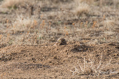 Burrowing Owl peeks out from its hole