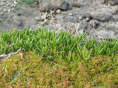 Cliff-Dwelling Succulents at The Lizard (velodenz) Tags: voyage uk trip sea vacation england en cliff holiday west bicycle club digital photography cyclists coast vacances photo kent seaside reisen cornwall fuji image britain united great hard picture kingdom pic lizard photograph cycle gb fujifilm phot touring succulents vacance ctc x30 riders dwelling the kernow cycletouring coastel hardriders wkhr velodenz
