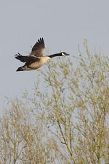 Canada goose / Grote Canadese gans / Branta canadensis (Greeney5) Tags: action waterbird goose gans canadagoose brantacanadensis bif actie branta canadesegans watervogel grotecanadesegans geulvijver