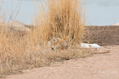Female coyote naps in the grass