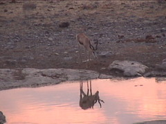 A Springbok and His Reflection