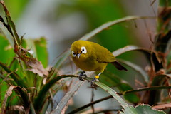 Montane white-eye (mlomax1) Tags: bird nature zoo nikon wildlife whiteeye chesterzoo montane d3200