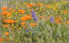 So Cal Wildflowers 2015 (tdlucas5000) Tags: flowers high desert bokeh poppies lancaster wildflowers bouquet lupine californiapoppy