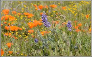 So Cal Wildflowers 2015