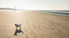 """Small Dog, Big Beach!  """"West Wittering Beach"""" """"West Sussex"""" (Mr Whites Paw Prints) Tags: dog westsussex jackrussell nibbler westwitteringbeach"""